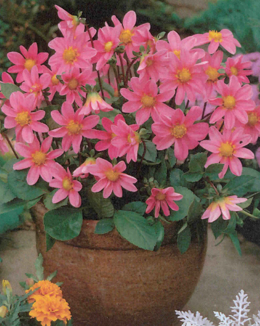 Dahlia Topmix Pink For Sale Buy Online For 163 2 99