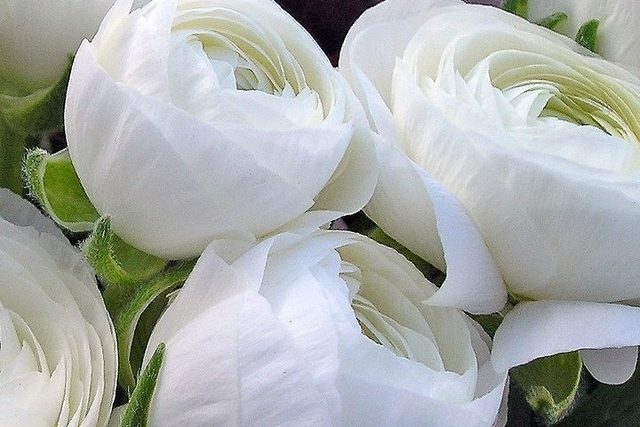 Ranunculus White Double White Buttercup For Sale Buy