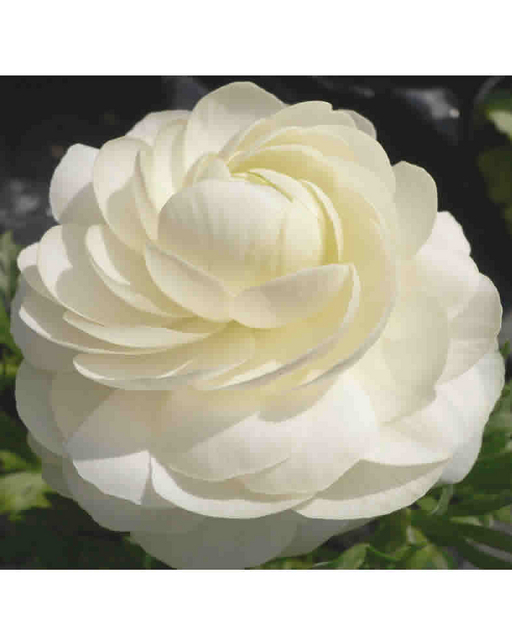 ranunculus white double white buttercup for sale buy online for price. Black Bedroom Furniture Sets. Home Design Ideas