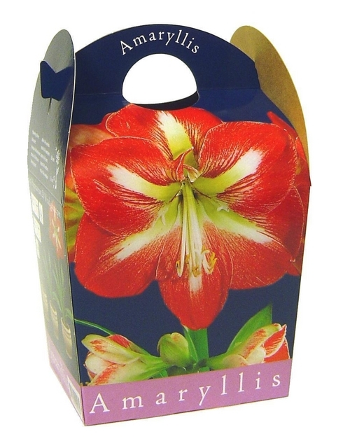 amaryllis bulbs for sale buy them cheap online today. Black Bedroom Furniture Sets. Home Design Ideas