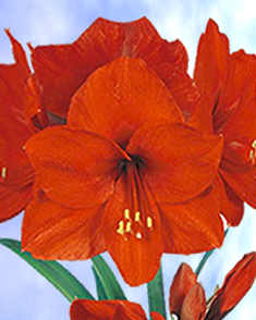 Amaryllis red hippeastrum for sale buy amaryllis red for Amaryllis planter bulbe