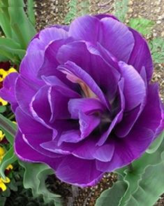 Tulipa Blue Diamond