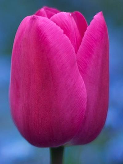 Tulip Barcelona For Sale Buy Online For 163 5 99