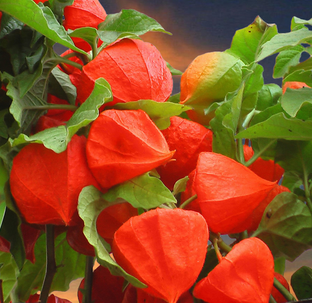physalis franchettii for sale buy online for. Black Bedroom Furniture Sets. Home Design Ideas