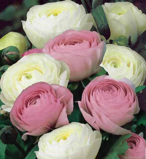 Ranunculus white pink mix for sale buy online for 299 ranunculus white pink mix mightylinksfo