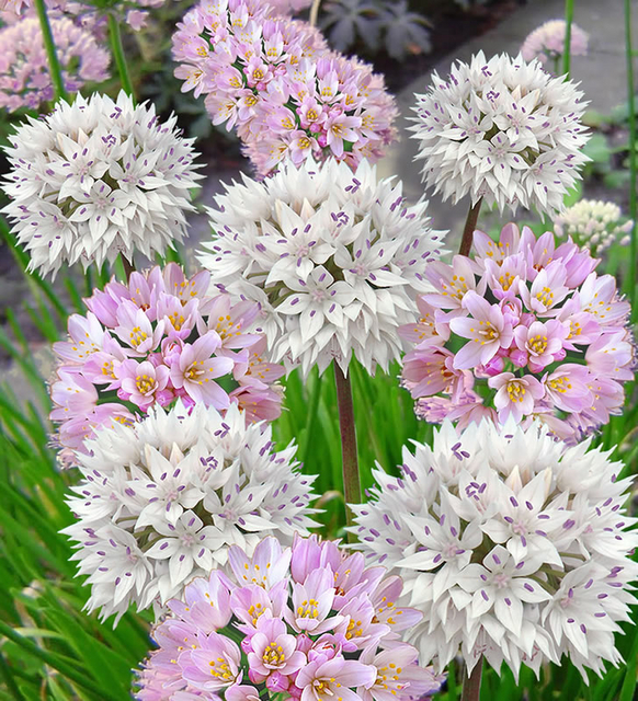 alliums roseum amplectans mix for sale buy online for. Black Bedroom Furniture Sets. Home Design Ideas