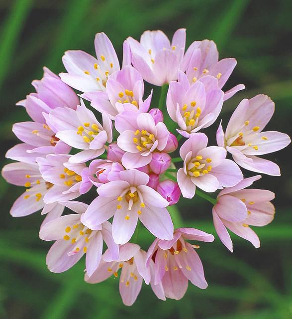 Allium Roseum For Sale Buy Online For 163 3 99