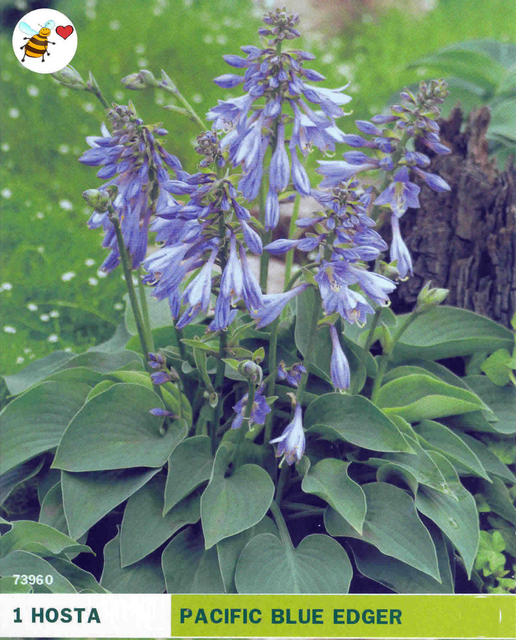 hosta pacific blue edger bulbs on sale. Black Bedroom Furniture Sets. Home Design Ideas