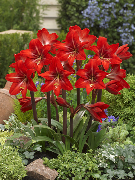 sonatini amaryllis red garden amaryllis for sale buy online for