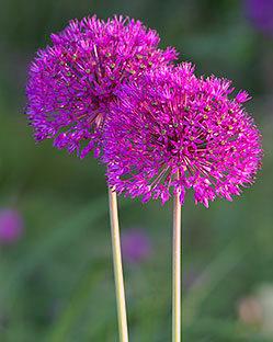 allium purple sensation for sale buy online for. Black Bedroom Furniture Sets. Home Design Ideas