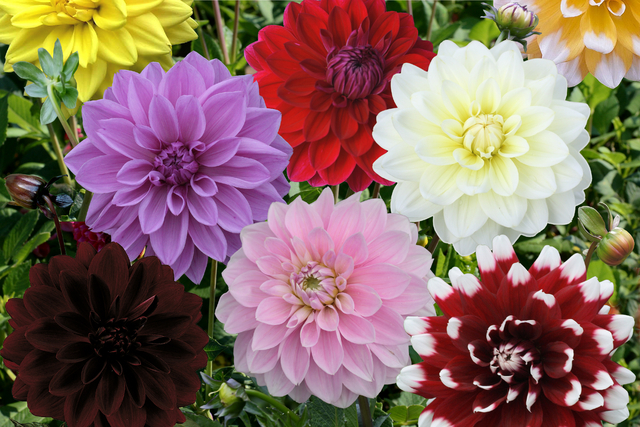 dahlia decorative mixed for sale buy online for 9 99