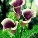 Kale u boji Th2_1252402413Calla_Picasso_bloem