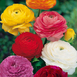 Ranunculus bulbs Mixed
