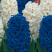 Hyacinth White & Hyacinth Blue