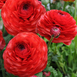 Ranunculus Red - Double Red Buttercup