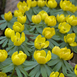 Eranthis Hyemalis - Winter Aconite Large Pack