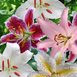 Oriental Lilies Mix (Large Pack)