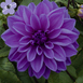 Dahlia Decorative Lilac Time