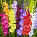 Gladiolus Mix (Large Pack)