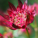 Masterwort (Astrantia Major Lars)