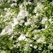 Bougainvillea White (Pot plant)