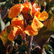 Canna Wyoming Orange