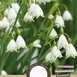 Leucojum Gravity Giant