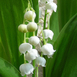 Lily of the Valley (Large Pack) - Convallaria Majalis