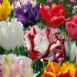 Tulips Parrot Mix
