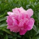 Fragrant Peony 'Mister Gerard'