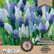 Muscari Mix - Grape Hyacinth (Large Pack)