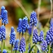 Muscari Armeniacum - Grape Hyacinth (Large Pack)