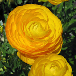 Ranunculus Yellow - Double Golden Buttercup