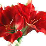Amaryllis Red with Vase