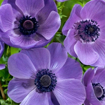 anemone-mr-fokker