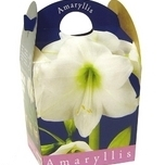 Amaryllis White (including pot)