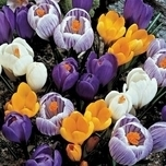 Crocus Large Flowering Mix (Large Pack)