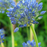 Allium Caeruleum (Blue-of-the-Heavens)