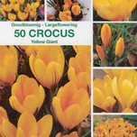 Crocus Yellow Giant