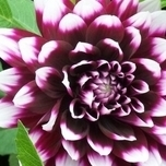 Dahlia Decorative Mystery Day