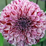 Dahlia Decorative Marble Ball
