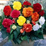 Begonia Mixed Double