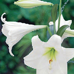 Lilium Longiflorum Snow Queen