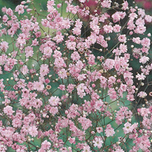 Gypsophila Rosea - Baby's Breath