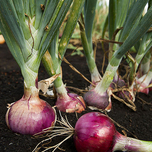 Plant Onions Red (500 gr)