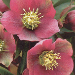Lenten Rose plants