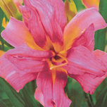 Hemerocallis Double Challenger
