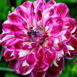 Dahlia Decorative Optic Illusion