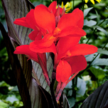 Canna Brown/Red