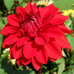 Dahlia Decorative Garden Wonder